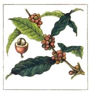 растение_кофе